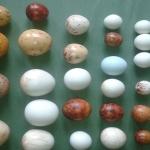 replica_de_huevos_rapaces_ibericas.jpg