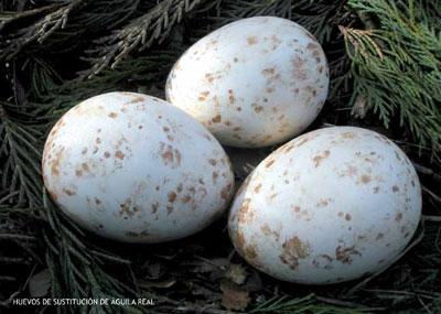 huevos_de_sustitucion2-3