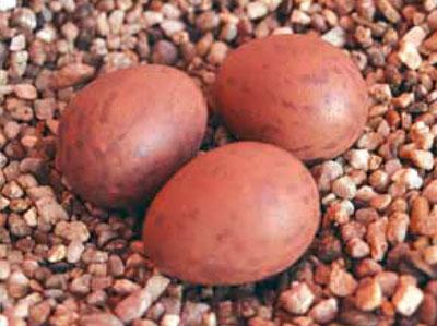 huevos_de_sustitucion2-5